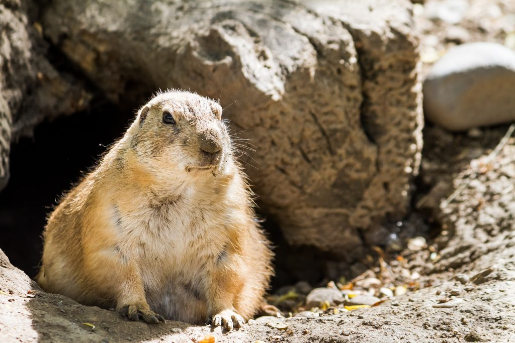A groundhog exploring outside its burrow.