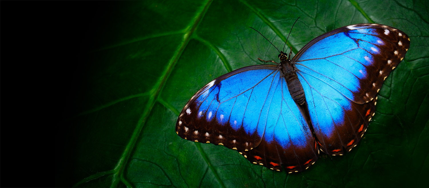 Butterfly Symbolism and Meaning in World Culture   Shop LC