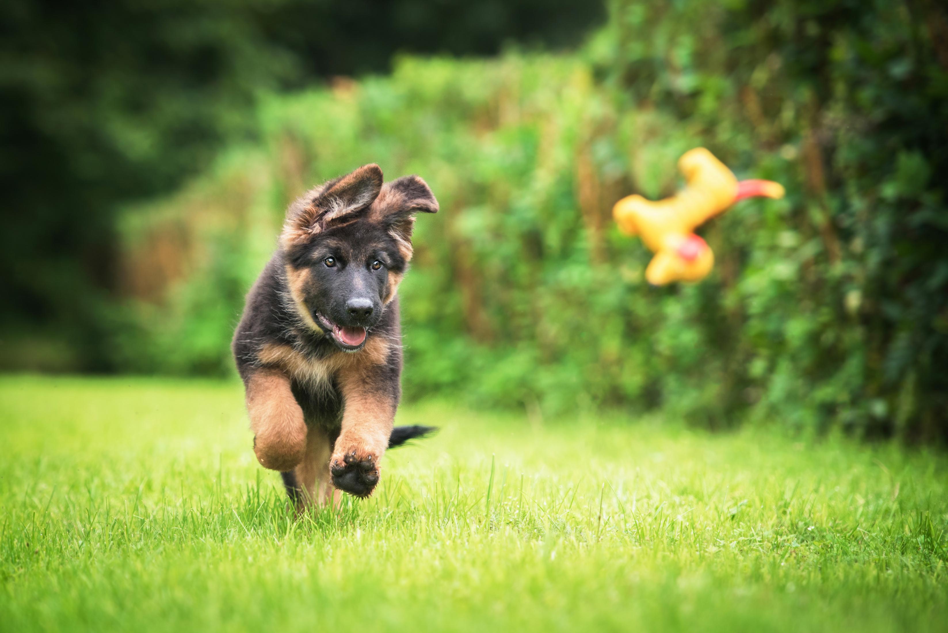 German Shepard puppy frolicking in green grass.