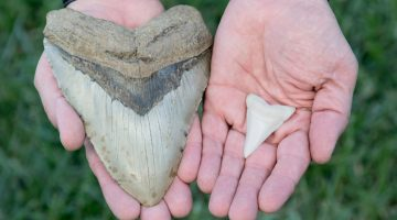 Megalodon versus great white shark tooth.