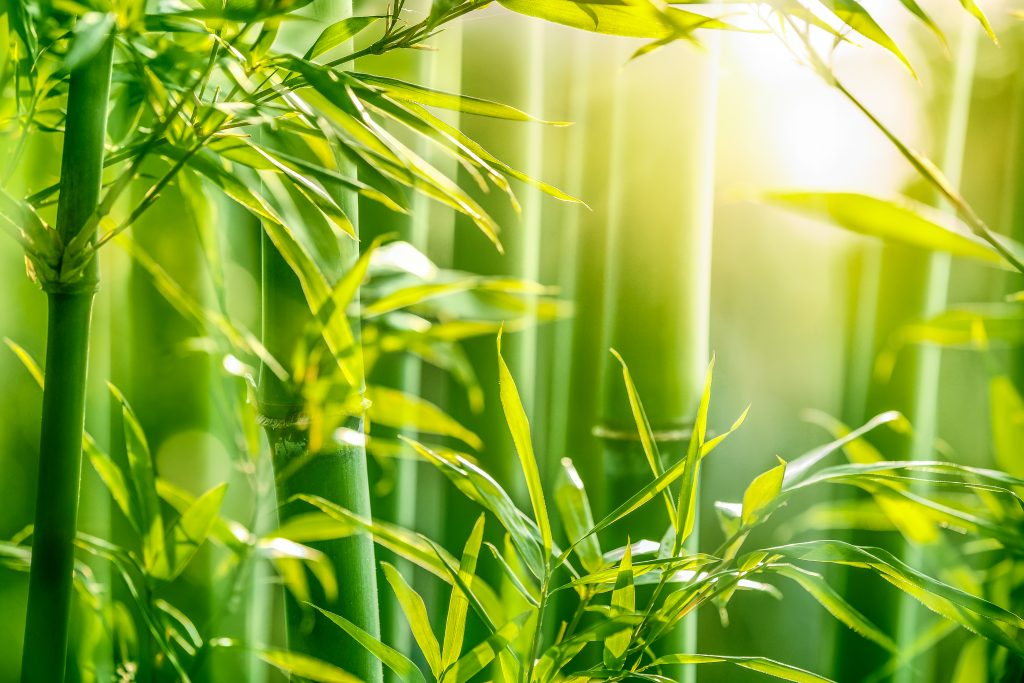 A lush bamboo forest.