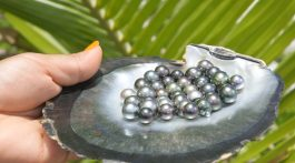 Collected Tahitian pearls displayed on the half shell.